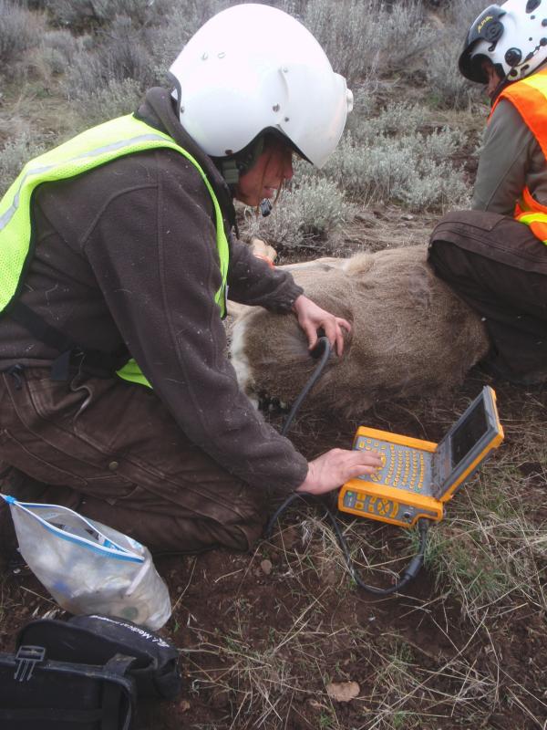 Mule deer ultrasound