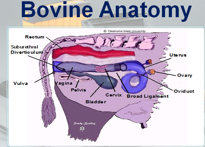 bovine anatomy ultrasound