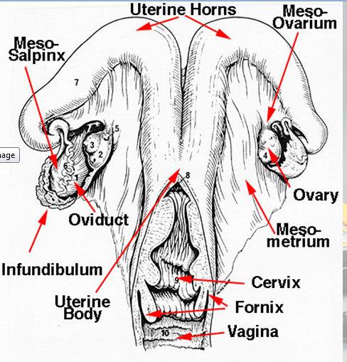 bovine anatomy reproduction