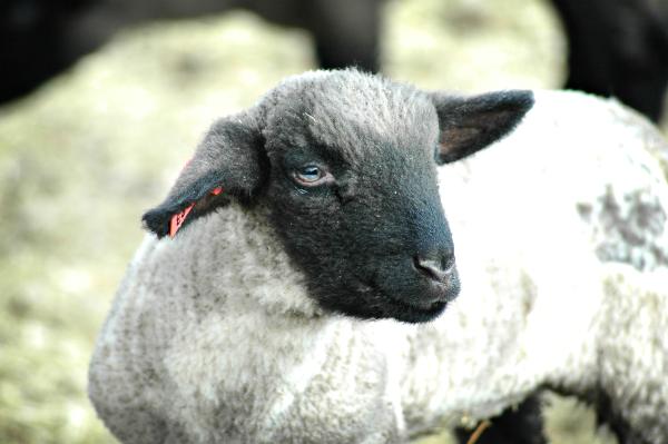 Ultrasound Lamb