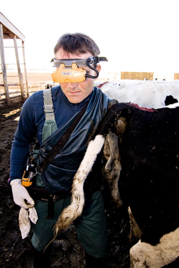 Ultrasound cows preg check