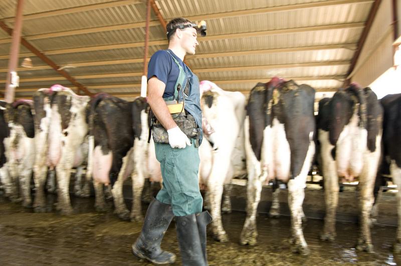 dairy cow ultrasound, cow sonogram, bovine sonogram, best portable utlrasound