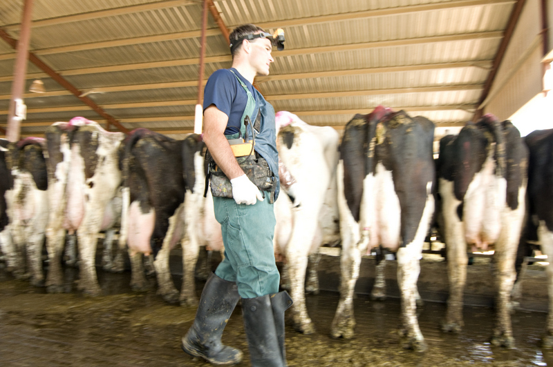 cattle ultrasound
