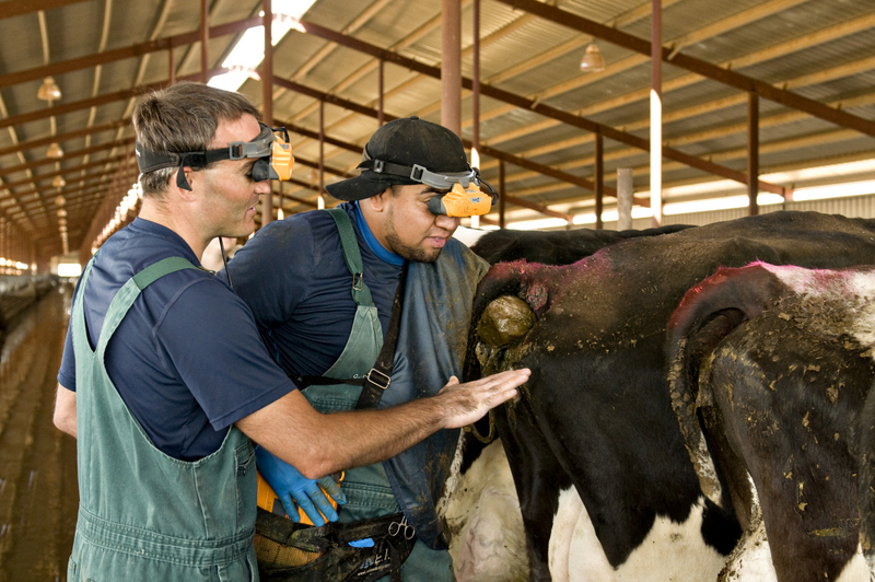 dairy cow ultrasound
