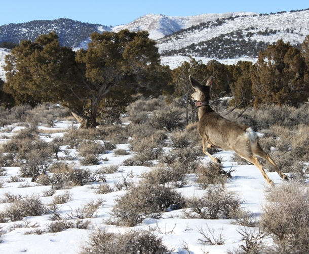 Mule deer doe with collar ruby mtns.jpg