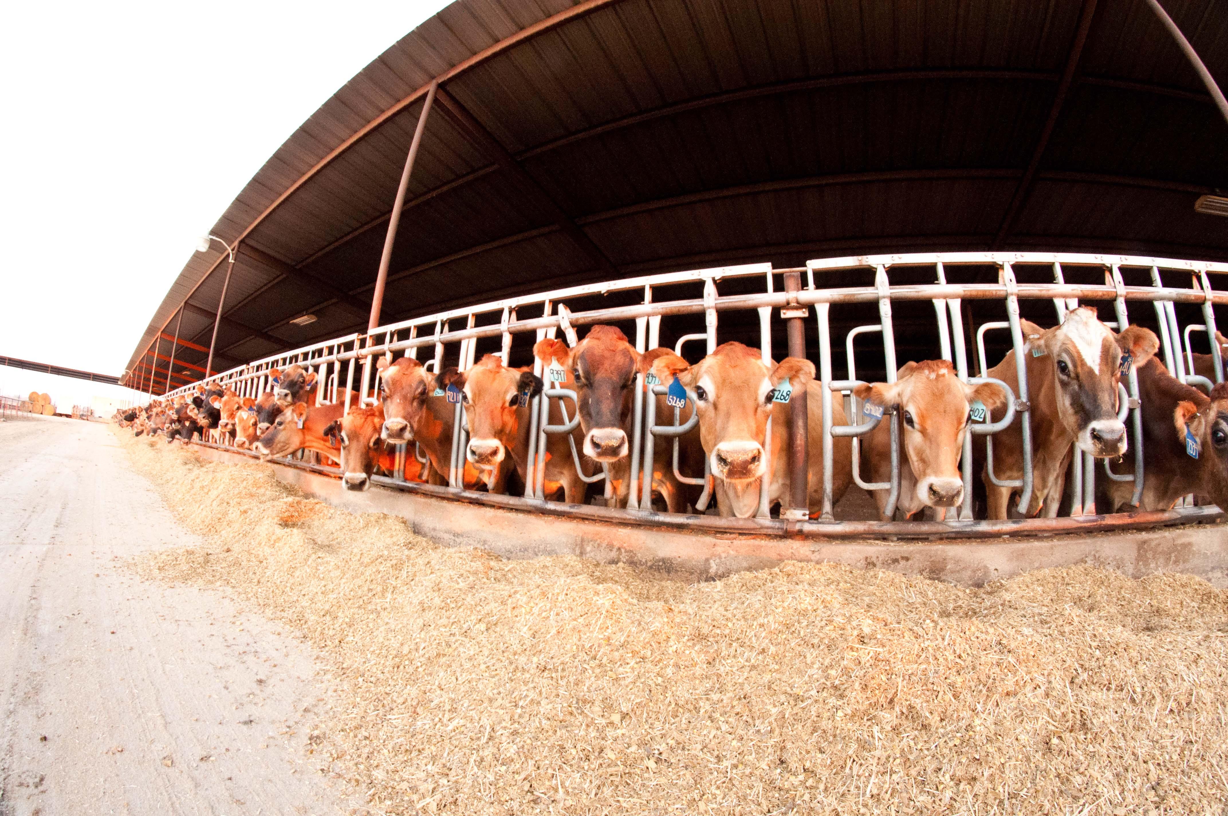 bovine ultrasound, cow ultrasound
