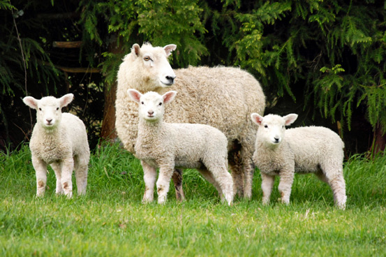 Small Ruminant/Camelid Ultrasound