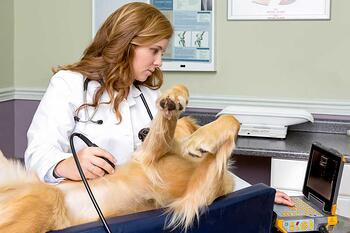 Golden retriever ultrasound exam