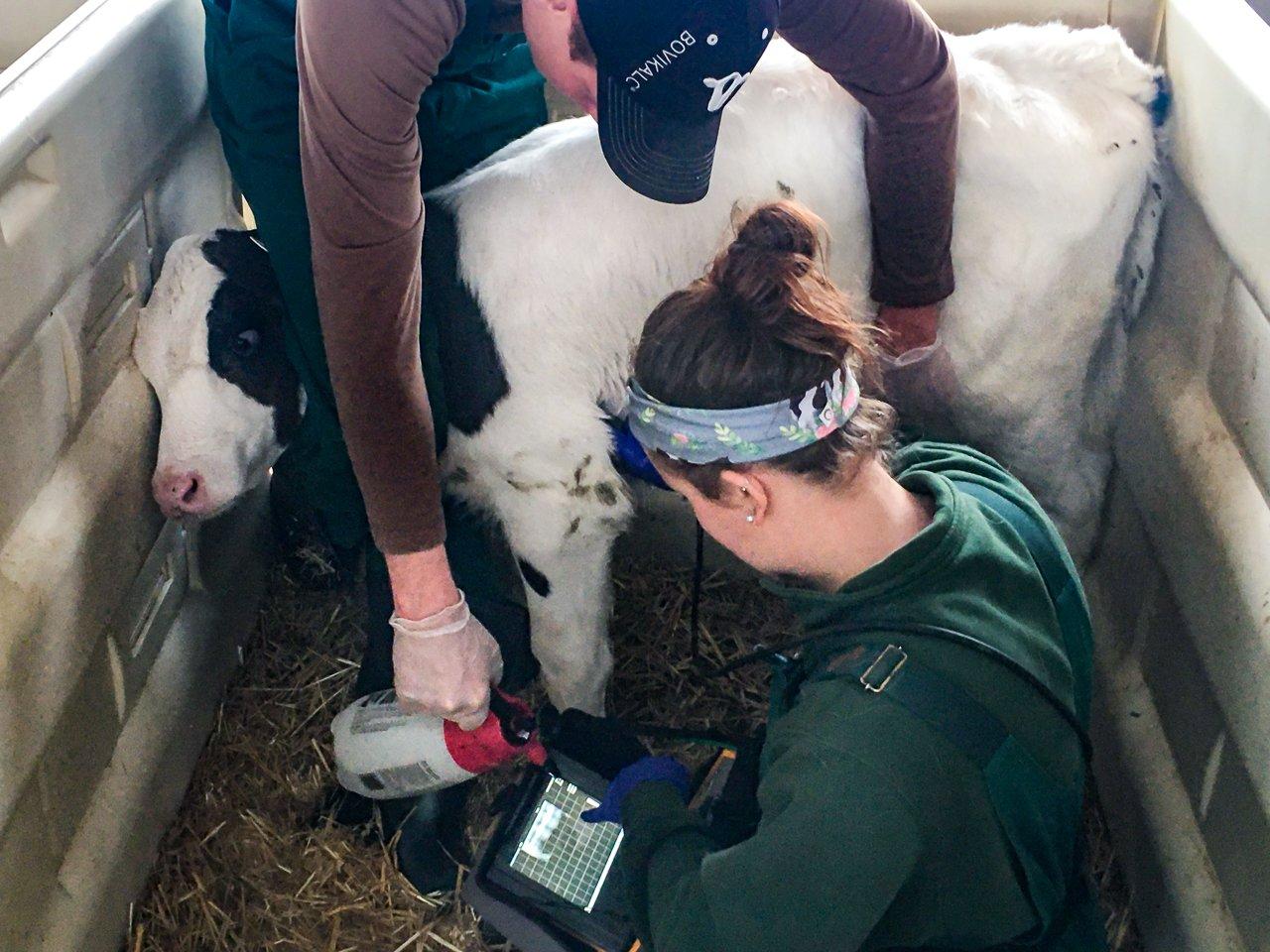Dr Ollivett holds bovine lung lab using IBEX veterinary ultrasound