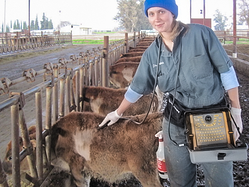 Elizabeth Adams, DMV, scans calves with IBEX PRO