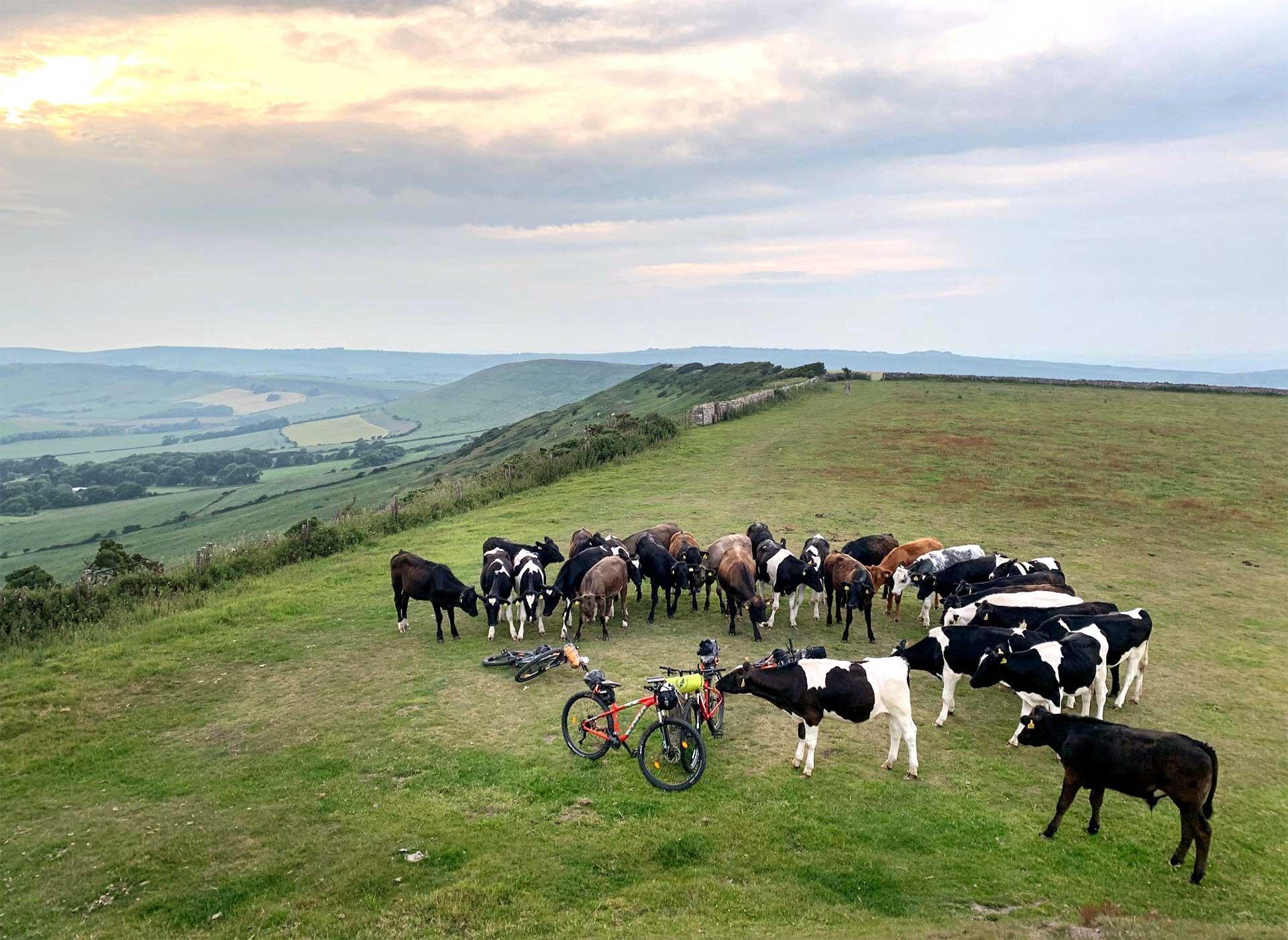 cows-attack-bikes